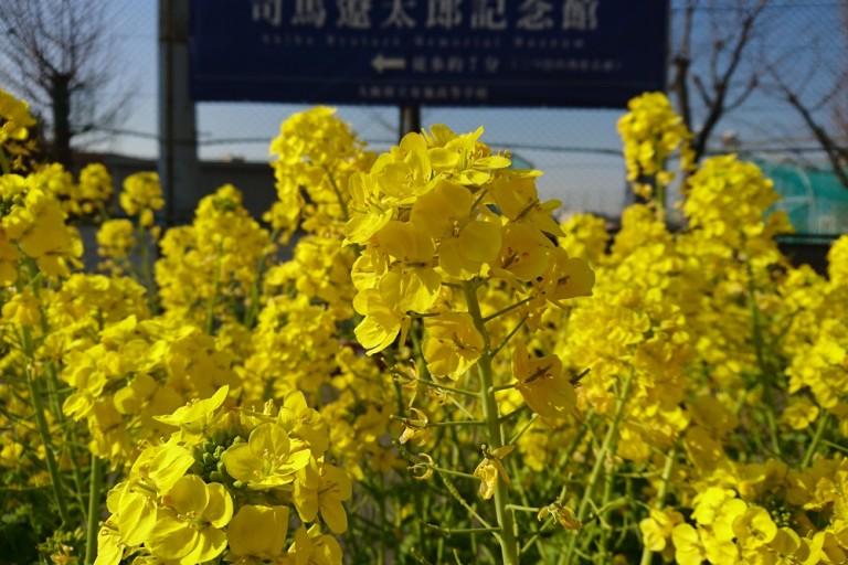 八戸ノ里駅前で菜の花が満開。なんと、これは司馬遼太郎の命日「菜の花忌」で周囲を黄色く彩ったものだった!