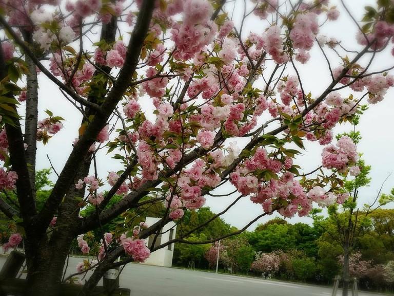 八戸ノ里公園桜4