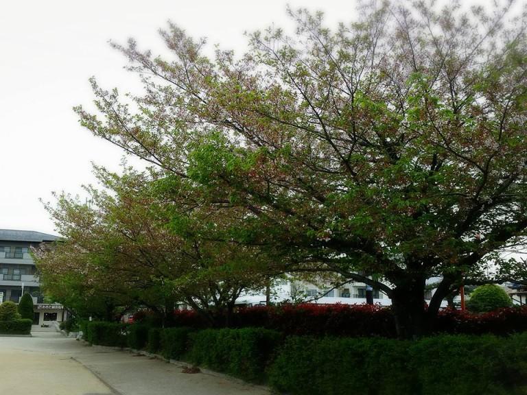 八戸ノ里公園桜