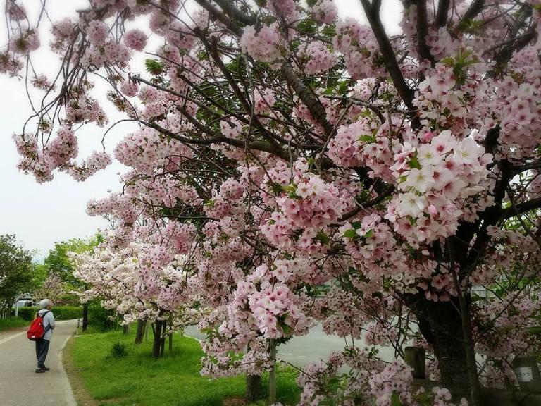 八戸ノ里公園桜5