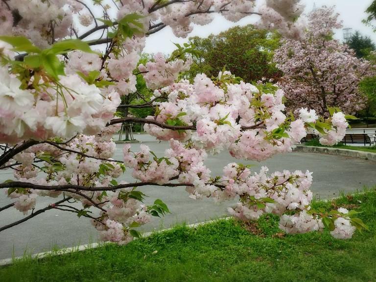 八戸ノ里公園桜3