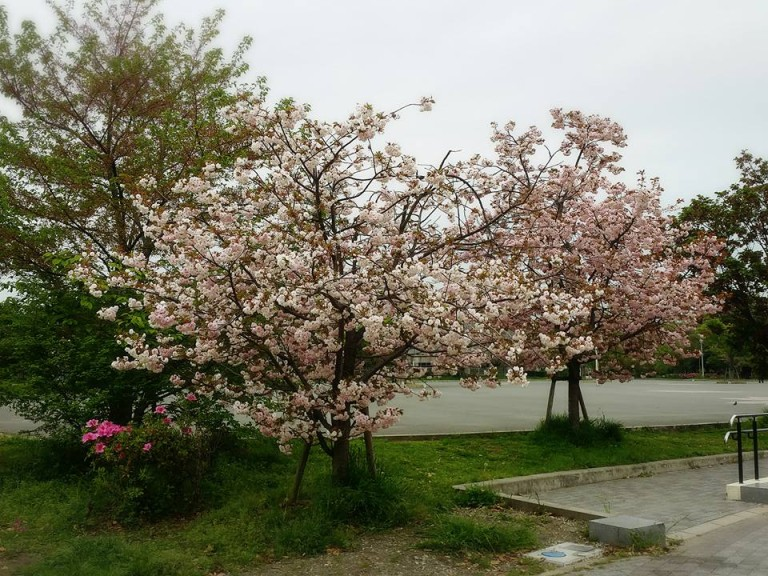 八戸ノ里公園桜2