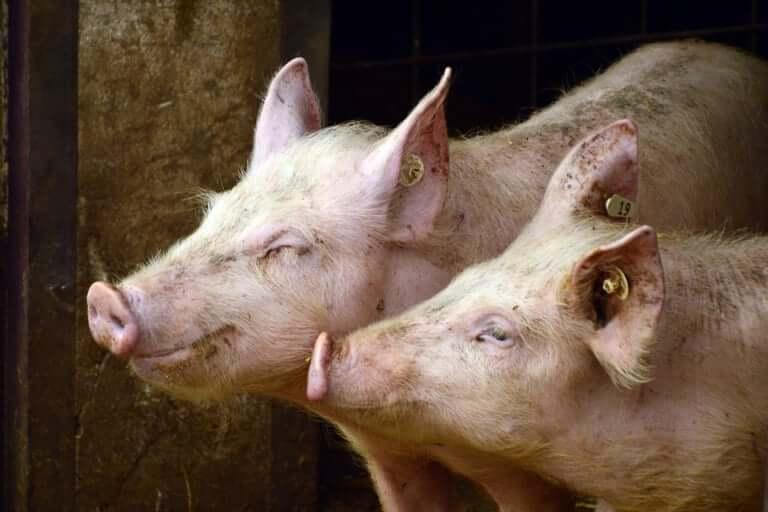 【東大阪市】豚コレラがついに市内でも感染が確認!全737頭の殺処分が行われました